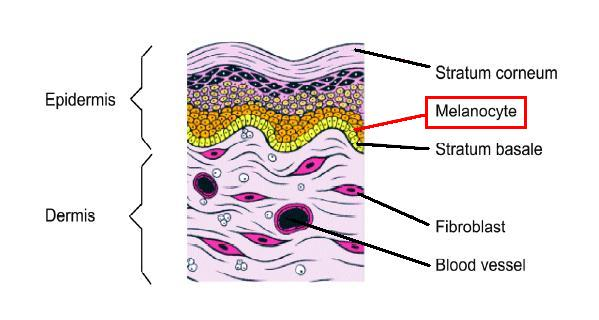 Melanocytes, which determine skin color, sit at the base of the skin's epidermis.